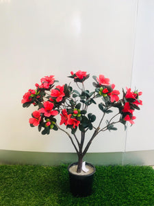 2ft Azelia Red Plant - Green Gardens Mihiliya (Pvt) Ltd
