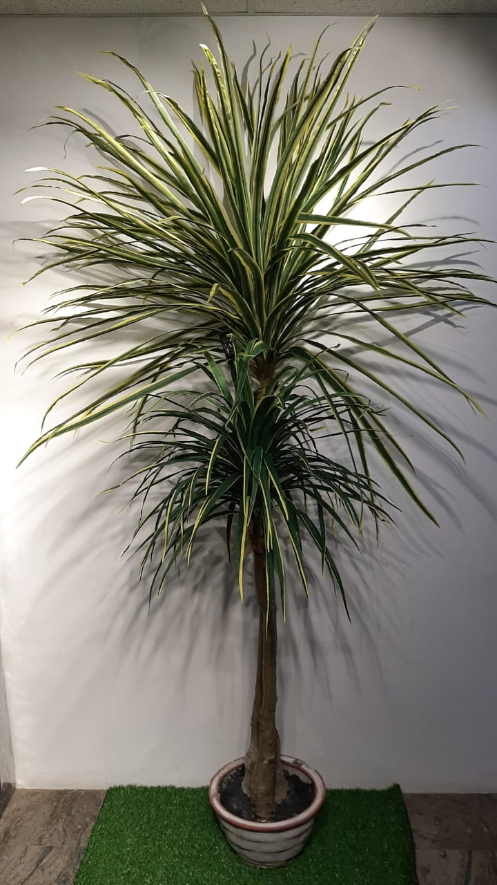 7ft Winebottle Tree - Green Gardens Mihiliya (Pvt) Ltd