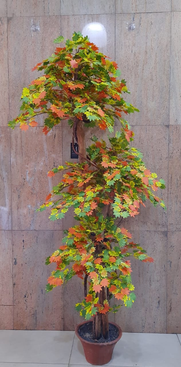 5ft Autum Maple Tree