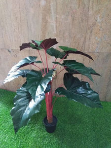 3ft Burgundy Elephant Ear Plant - Green Gardens Mihiliya (Pvt) Ltd