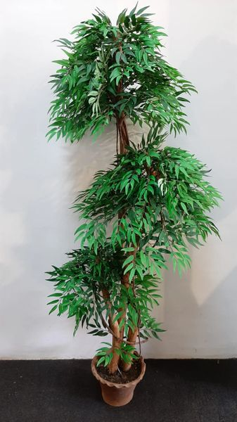 5ft Lovesick Tree - Green Gardens Mihiliya (Pvt) Ltd
