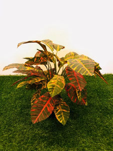 2ft Croton Red Plant - Green Gardens Mihiliya (Pvt) Ltd
