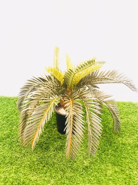 1ft Cycus Plant - Green Gardens Mihiliya (Pvt) Ltd
