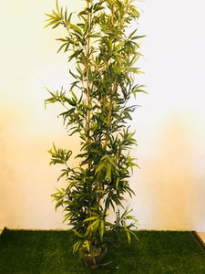 8.5ft Bamboo (Yellow trunk) Plant - Green Gardens Mihiliya (Pvt) Ltd