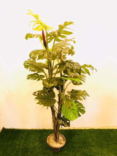 4.5ft Split Philo Tree - Green Gardens Mihiliya (Pvt) Ltd