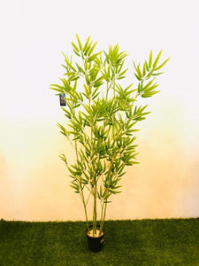 5ft Japanese Bamboo - Green Gardens Mihiliya (Pvt) Ltd