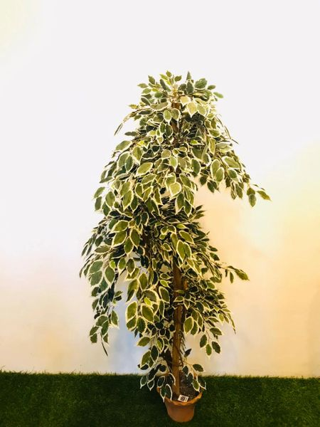 5ft Verigated Ficus Tree - Green Gardens Mihiliya (Pvt) Ltd