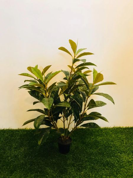 3.5ft Tea Leaf Plant - Green Gardens Mihiliya (Pvt) Ltd
