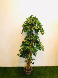 5ft Begonia Tree - Green Gardens Mihiliya (Pvt) Ltd