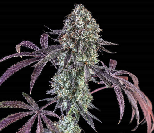 Star Warz O.G. Regular Seeds Natural Genetic Seeds