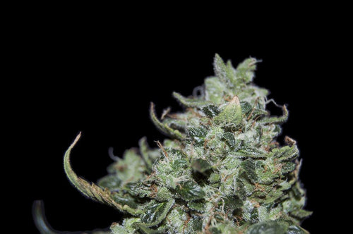 Double Mint Cookies Regular Seeds Natural Genetic Seeds