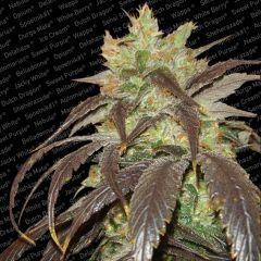 Devil Glue Regular Seeds Natural Genetic Seeds