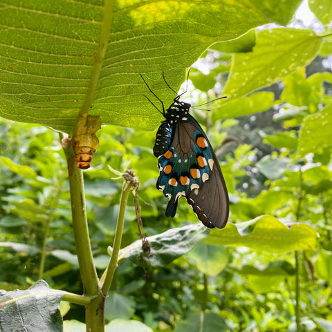 pipevine swallowtail butterfly emerging from its chrysalis