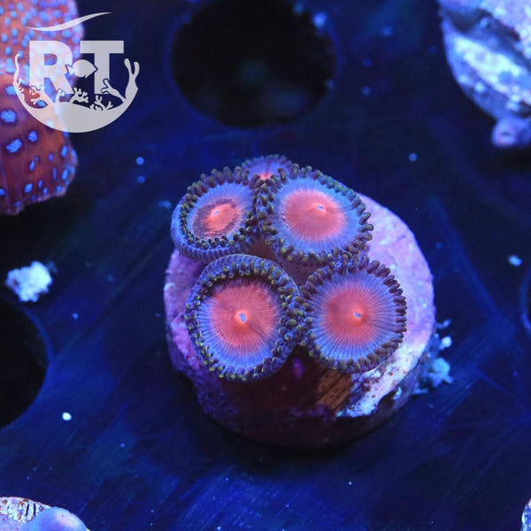 RT Wine Cooler Zoa - WYSIWYG Soft Coral Frag