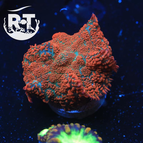 Orange Smash Rhodactis - WYSIWYG Soft Coral Frag