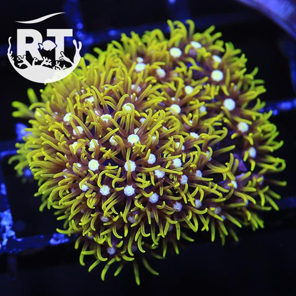 Green Star Polyps - Softie Frag