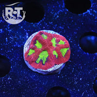 Candy Apple Favia - WYSIWYG LPS Frag