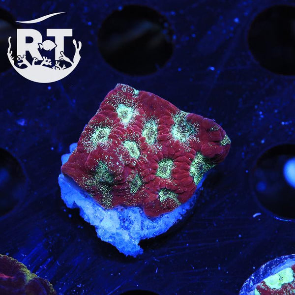 RT Sucker Punch Favites - WYSIWYG LPS Coral Frag