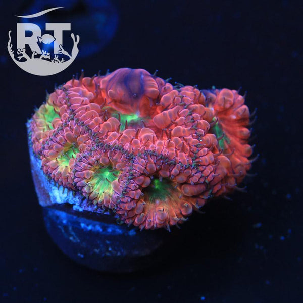 Fun Dip Blasto( with a Bounce) - WYSIWYG LPS Coral Frag