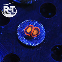 Yellow Brick Road Zoas - WYSIWYG Soft Coral Frag