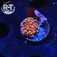 RT Pumpkin King Yuma - WYSIWYG Soft Coral Frag
