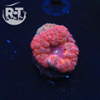 Ring of Fire Blasto - WYSIWYG LPS Coral Frag