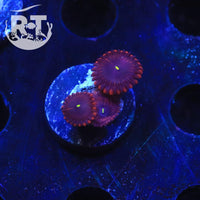 Red People Eater Zoa - WYSIWYG Soft Coral Frag