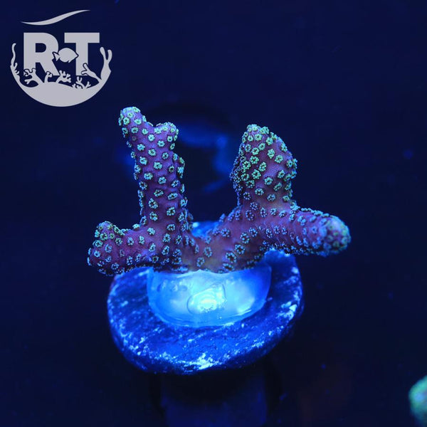 Cookie Monster Birdsnest  - WYSIWYG SPS Coral Frag