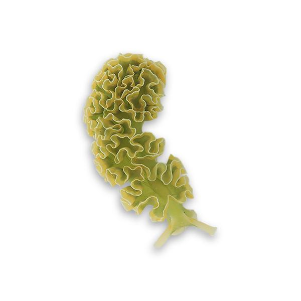 Lettuce Nudibranch - Clean Up Crew