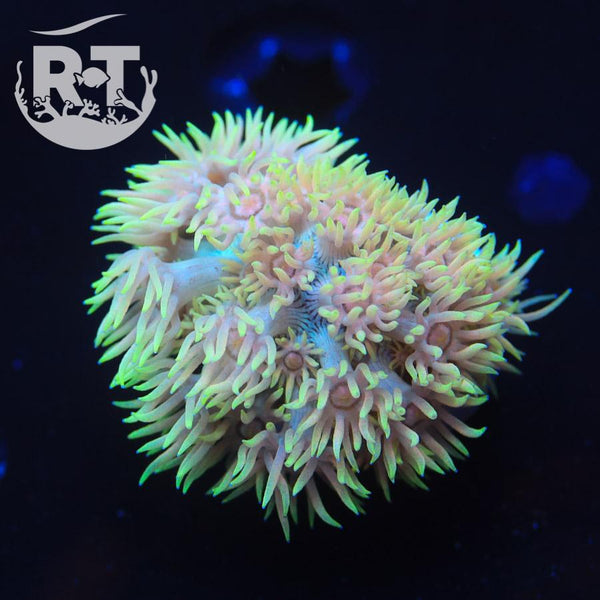 RT Star Destroyer Goni - WYSIWYG LPS Coral Frag