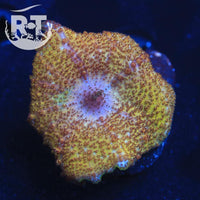 Solid Gold Neglecta - WYSIWYG Soft Coral Frag