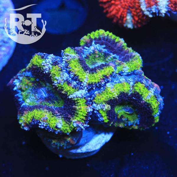 RT Meanstreak Micro - WYSIWYG LPS Coral Frag