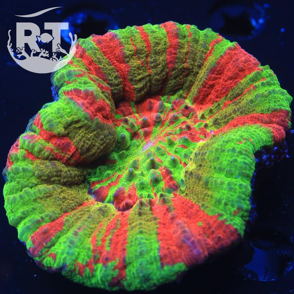Yellow Ring Ultra Scoly - WYSIWYG LPS Coral Frag