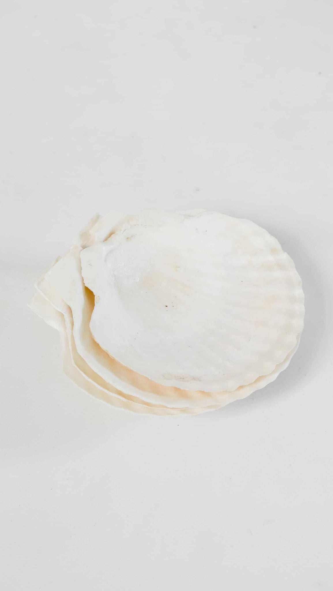 Shells Set of 4