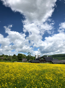 A SEA OF BUTTERCUPS