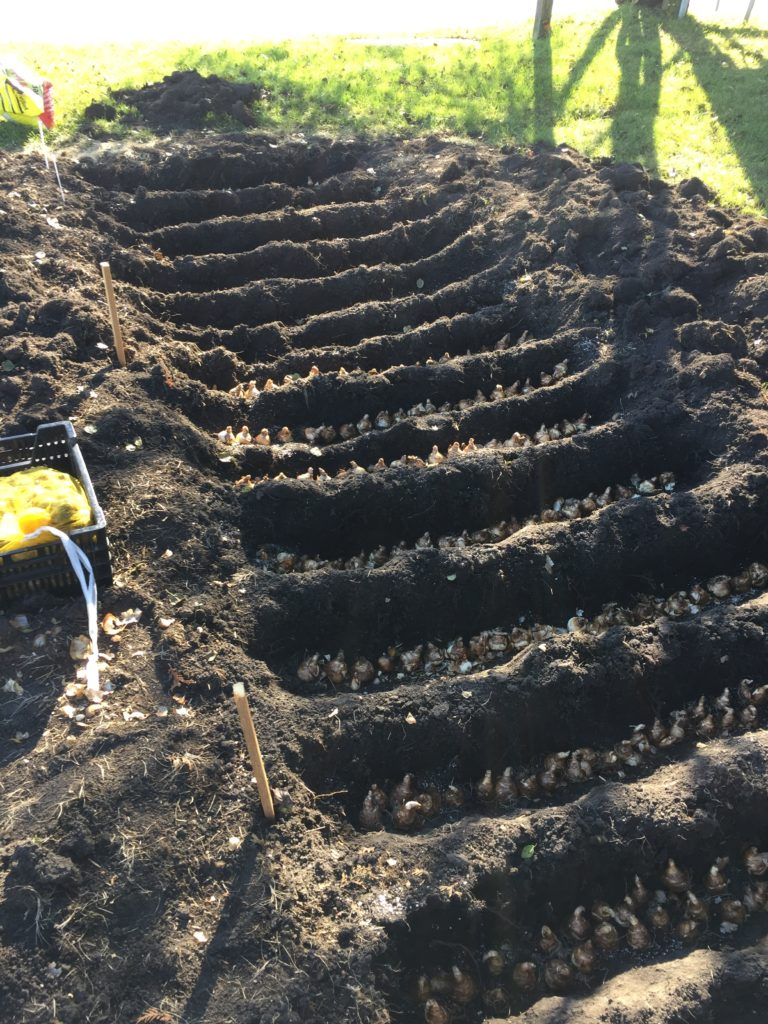 bulbs in the trenches