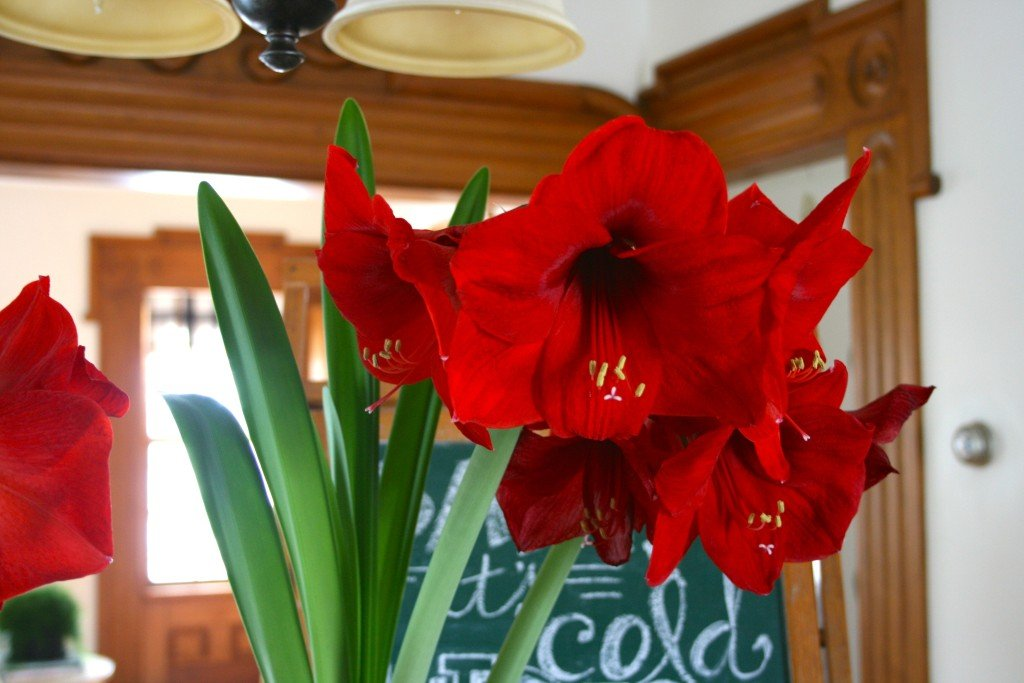 Lucky Break Amaryllis