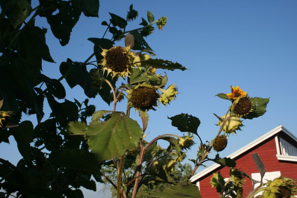 aphid sunflowers