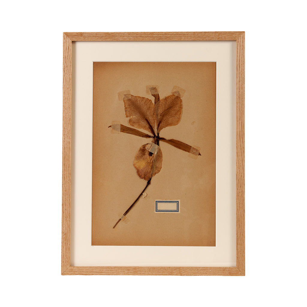 Dutch Herbier Specimen 04