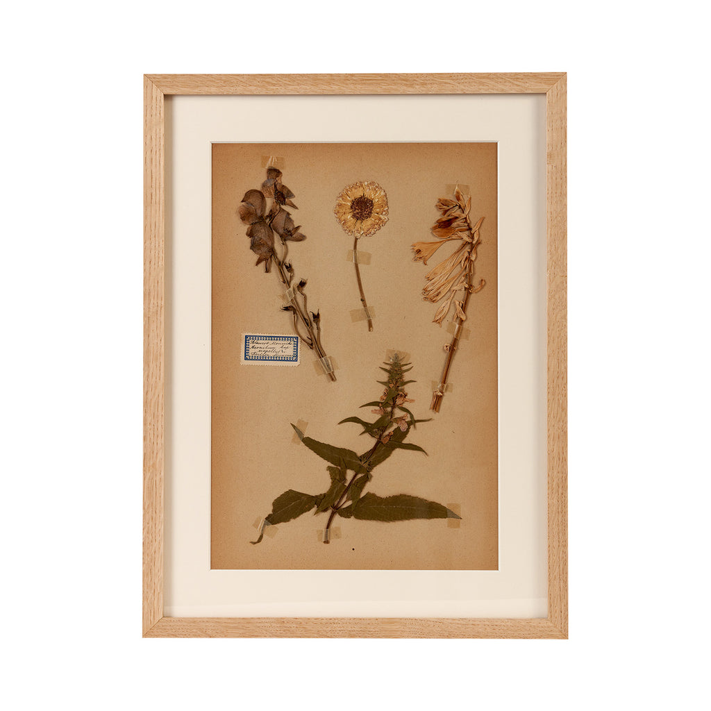 Dutch Herbier Specimen 06