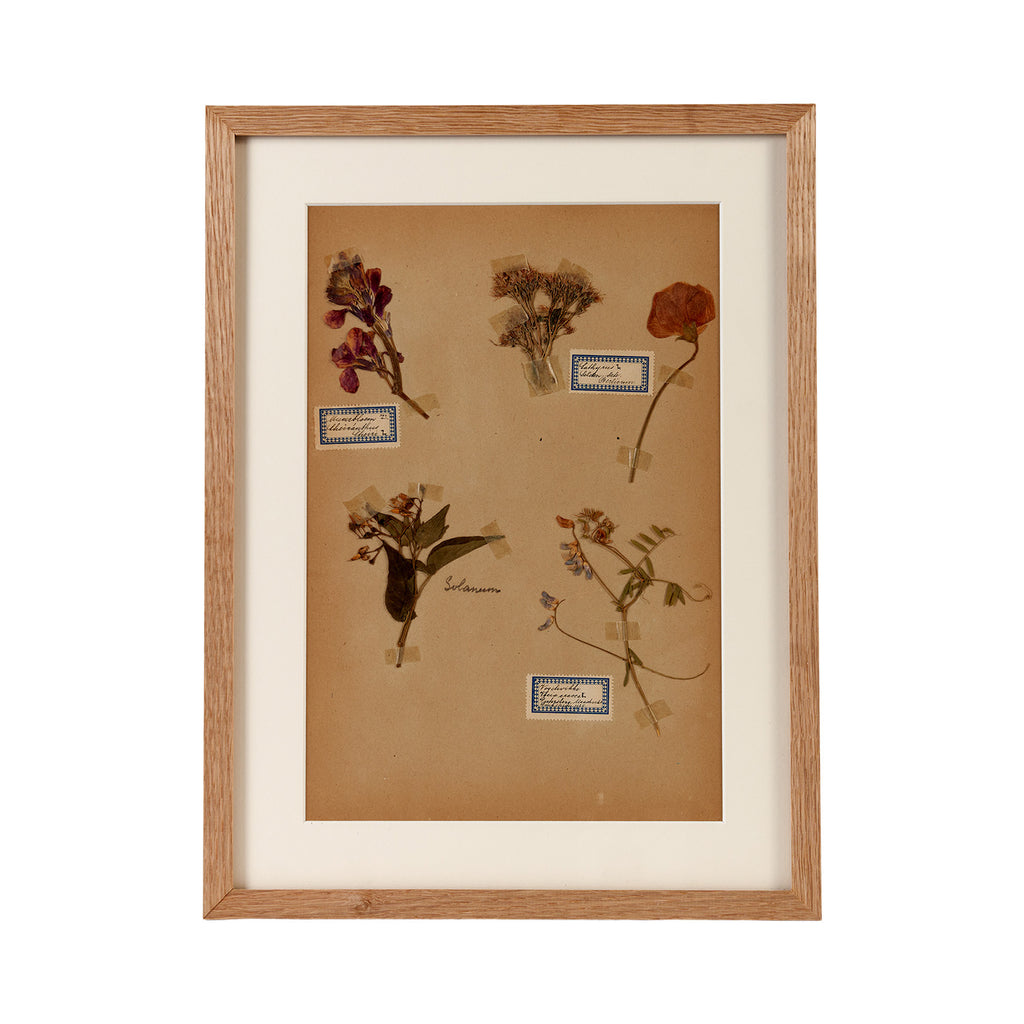 Dutch Herbier Specimen 11