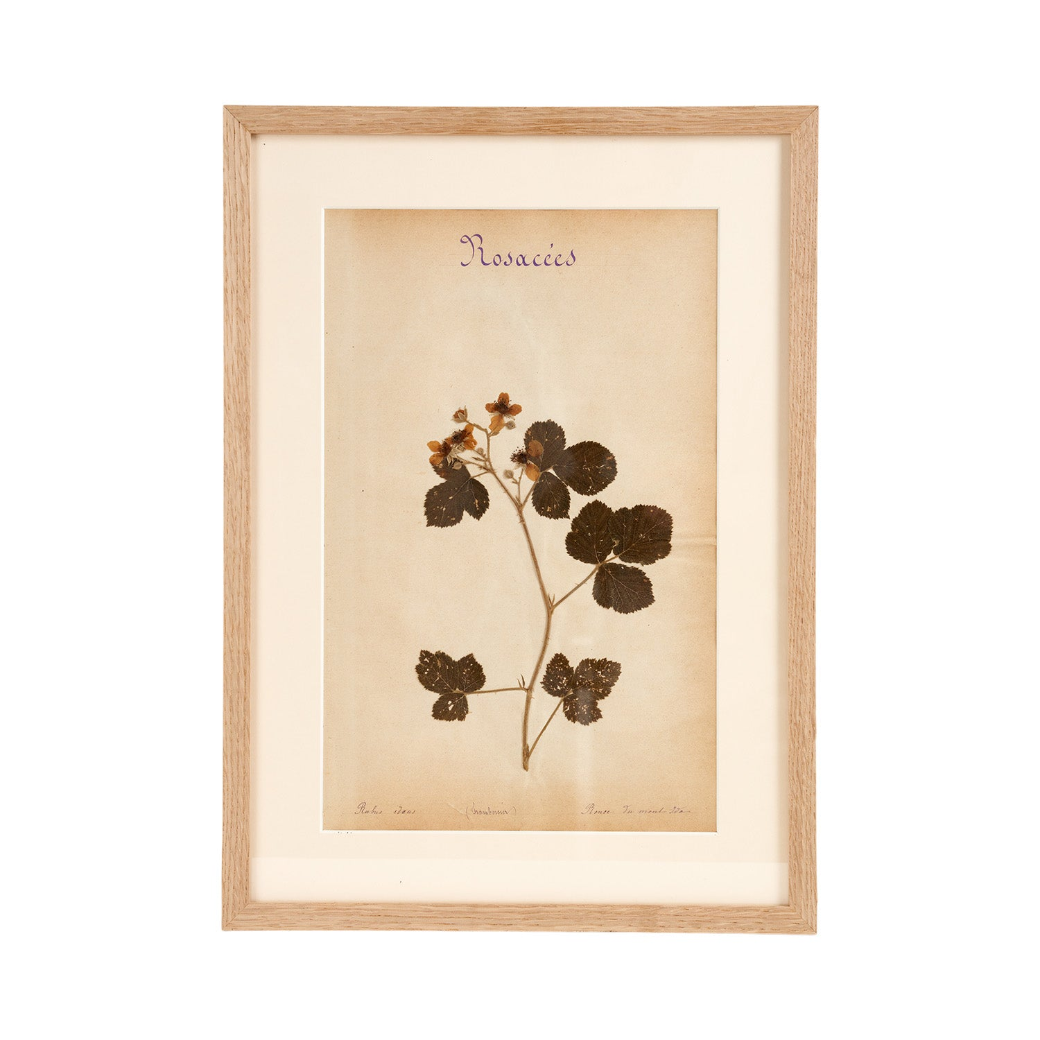 French Herbier Specimen 5