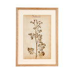 French Herbier Specimen 6