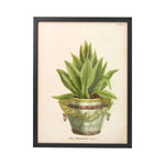 Aloe Africana No. 63 Botanical Print - Framed