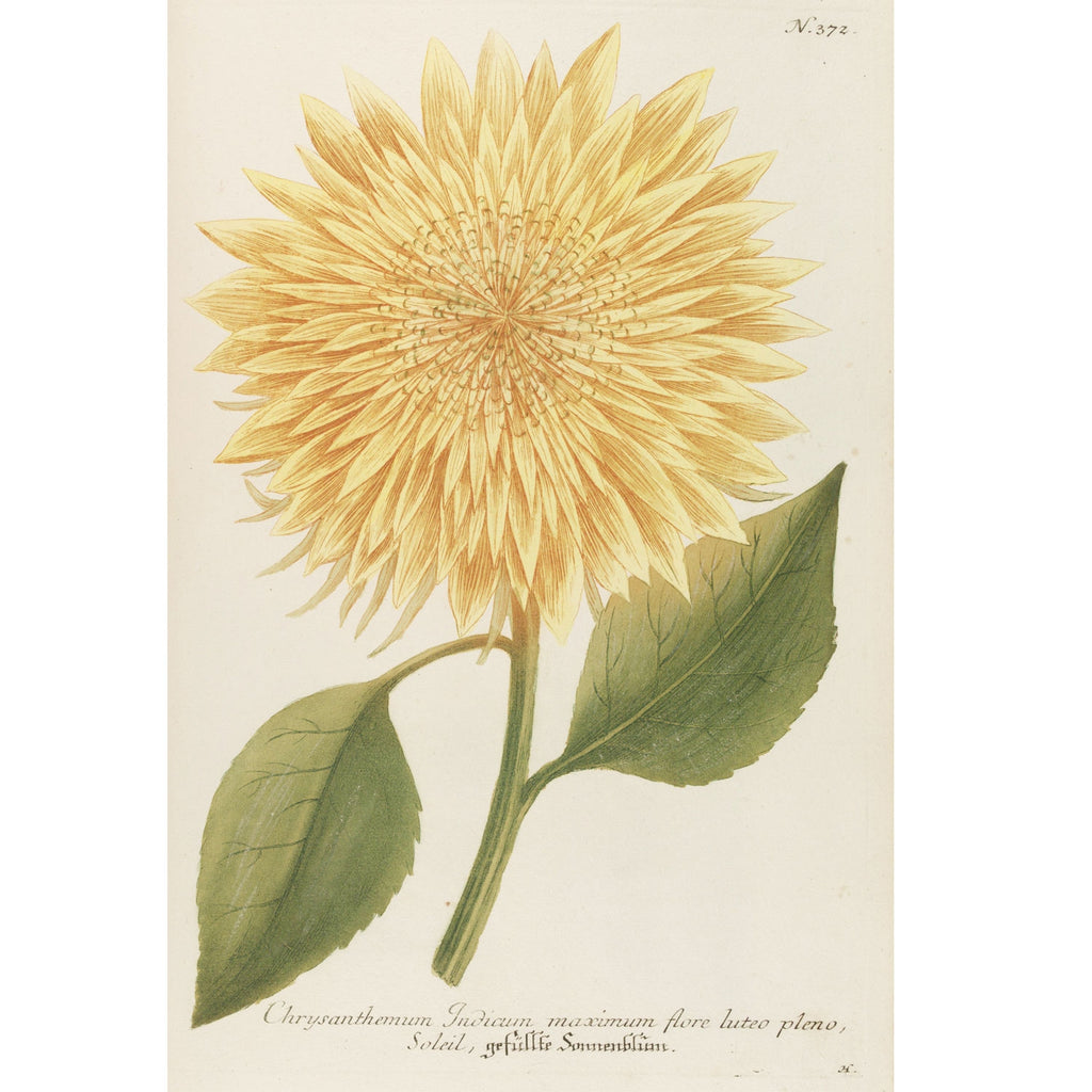 Chrysanthemum Indicum Maximum No. 373