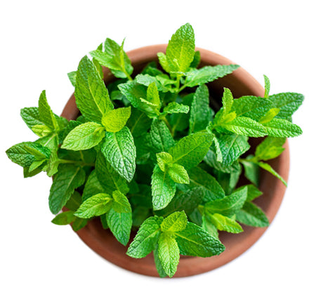 peppermint plant to show main ingredient in Lubilicious best-selling gel Fireworks for clitoral stimulation and enhanced orgasms