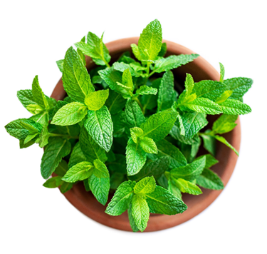 picture of peppermint plant - the main ingredient in Fireworks clitoral stimulation gel