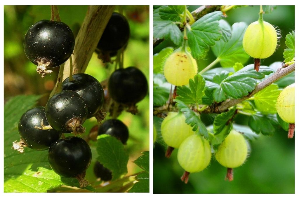 Blackcurrants and gooseberries   Little Lockdown Lessons: Food for Thought