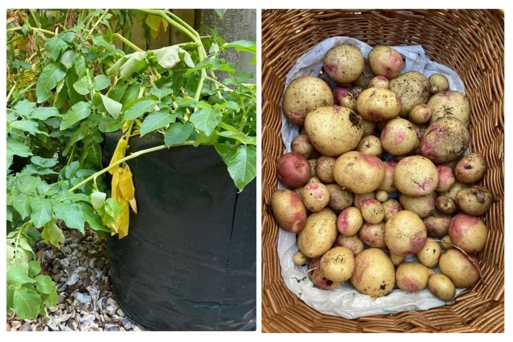 Potato plants   Little Lockdown Lessons: Food for Thought