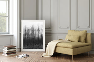 A photograph of Birch trees in a forest. The sky is great & the trees are dark & bare. Birch trees, Tasmania